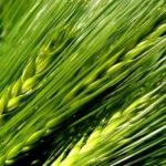 Zelený ječmen, mladý ječmen – jaké jsou jeho výhody?