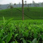 Tea tree oil (čajovníkový olej) – zázrak z přírody