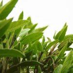 Pití zeleného čaje zpomalí příznaky stárnutí