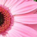 Aromaterapie: Šípkový olej omlazuje, sezamový chrání před sluncem