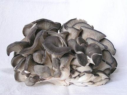 hliva-ustricna