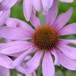 Echinacea (třapatka nachová) a její účinky na zdraví