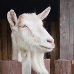 Kozí mléko a účinky na zdraví: zlepšuje imunitu a působí proti alergii