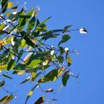 Eukalyptus (blahovičník) je super – na nachlazení i jako repelent