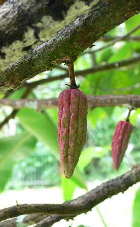 Kakaové boby, ze kterých se vyrábí kakové máslo