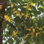 Ylang ylang nabízí mnoho pozitivních účinků