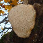 Korálovec ježatý a jeho léčebné účinky