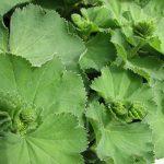 Kontryhel obecný a jeho účinky na zdraví – bylinka nejen na gynekologické potíže