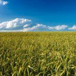 Šťáva ze zeleného ječmene – nabitá prospěšnými látkami