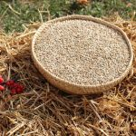 Olej z pšeničných klíčků a zdraví – kde ho použít?