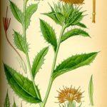Bodlákový olej (saflorový olej) pro vaše zdraví