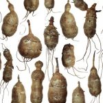 Topinambur – co obsahuje a jaký má vliv na naše zdraví