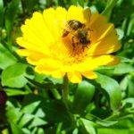 Apiterapie – léčba včelími produkty – funguje?