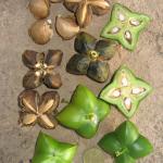 Sacha Inchi – zdravé oříšky z Peru – zkuste i olej z nich