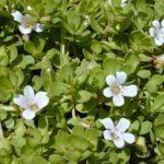 Brahmi – nenápadná, ale pro naše zdraví magická rostlina