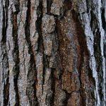 Pycnogenol – zdraví přímo z francouzské borovice