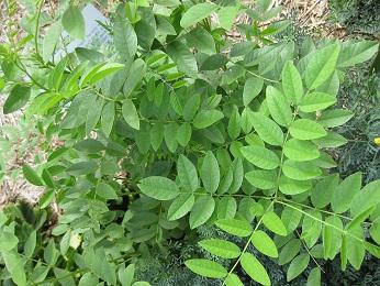 Takto vypadá bylinka lékořice...