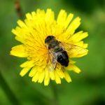 Včelí pyl a zdraví – je to přírodní lék s prospěšnými látkami