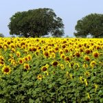 Slunečnicový olej a zdraví – víte, že i on je zdravý?