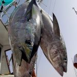 Tuňák a zdraví – obsahuje hodně omega-3 mastných kyselin