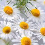 Heřmánkový čaj – 14 tipů pro zdraví pokožky i celého těla