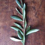 Olivové listy a naše zdraví – jak nám pomáhají?