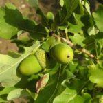 Dubová kůra a dub – přínosy pro zdraví