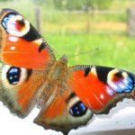 Nemoc motýlích křídel – příčiny, projevy, léčba