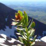 Rhodiola neboli Rozchodnice růžová (lidově zlatý kořen) a její účinky na zdraví