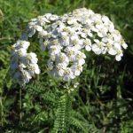 Řebříček lékařský nebo obecný – zdravotní účinky a přínosy byliny
