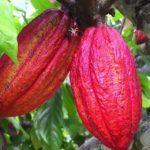 Pravé kakao a účinky na zdraví – superpotravina přímo od bohů