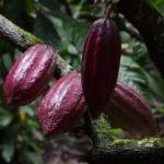 RAW kakaové boby jako superpotravina