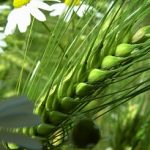 Zelený ječmen jako pomocník při hubnutí