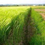Účinky zeleného ječmene na naše zdraví