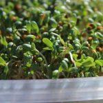 Alfalfa (tolice vojtěška) semínka a klíčky – její účinky na zdraví + přínosy pro krásu