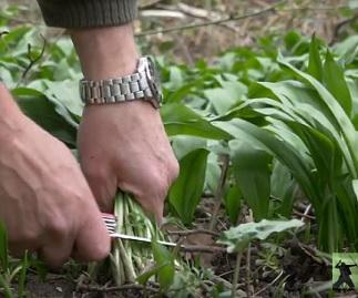 Vezměte si tolik medvědího česneku, kolik spotřebujete a nevytrhávejte rostlinu i s kořenem. Jinak dané místo bude příští rok prázdné.