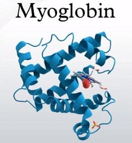 Myoglobin - co to je a k čemu je v těle dobrý?