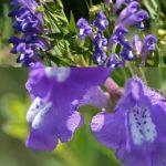 Šišák bajkalský (Scutellaria baicalensis) a jeho účinky na zdraví