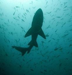 Žraločí maso obsahuje někdy hodně rtuti. Proto na něj dejte pozor.