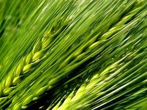 Zelený ječmen, mladý ječmen