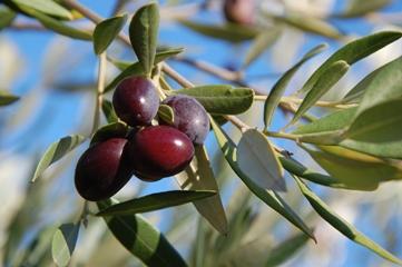 Olivový olej jako zázrak středomořské kuchyně i v kosmetice