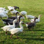 Ptačí chřipka – co je třeba vědět a dělat
