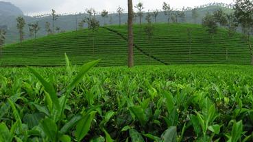 Tea tree oil (čajovníkový olej) - zázrak z přírody
