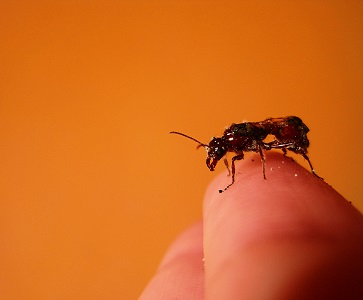 Hmyz, který pravděpodobně budete jíst v budoucnu