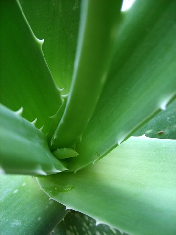 Aloe vera je na suché vlasy to pravé