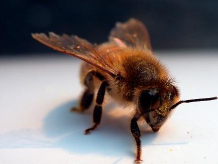 Včely cítí nádor