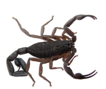 jed-skorpiona