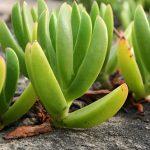 Aloe vera a její účinky na zdraví