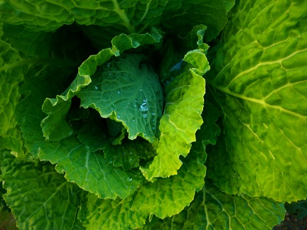 Kapustová (zelná) dieta