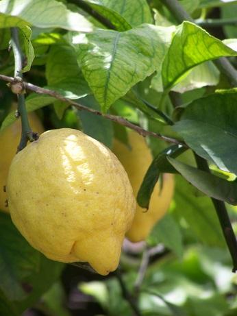 Citrony jako prevence proti rakovině